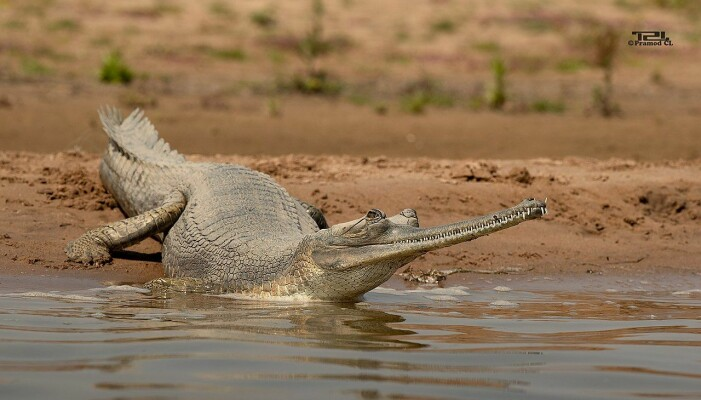 Gharial er en fiskeetende krokodille med veldig smal kjeft. Den finnes i India og Nepal. Det blir stadig færre av dem, fordi det nesten ikke er noe igjen av leveområdene deres.