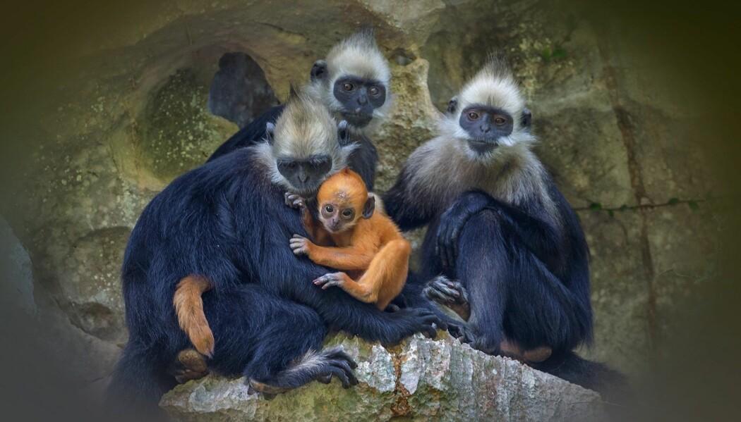 Flere arter er nær ved å bli utryddet. Blant annet disse apene, som på engelsk heter White-headed langur. De lever i Kina og Vietnam, men det er få igjen av dem. Apene har blitt jaktet på og de blir brukt i tradisjonell medisin.