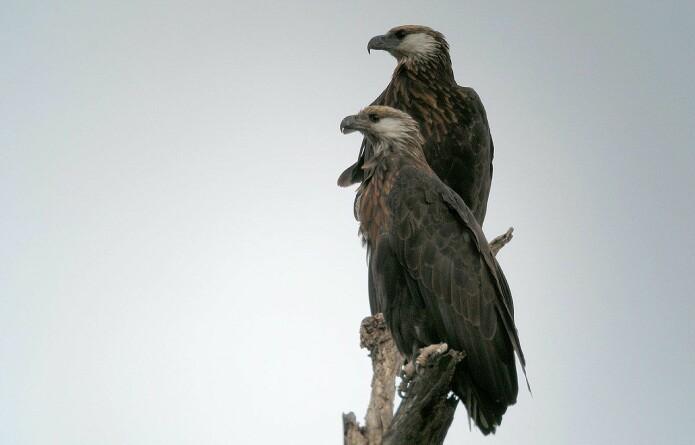 Madagascan fish eagle