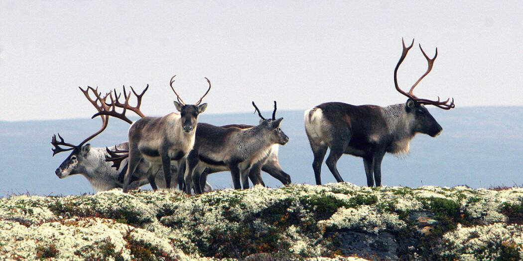 Villreinen er en av artene som lever under stadig større press i Norge.