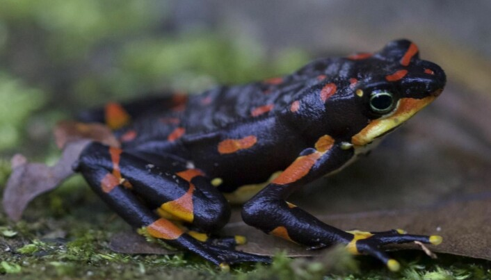 Harlequin-frosk