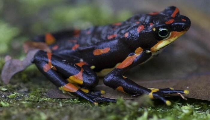 Harlequin-frosken var vanlig i Costa Rica og Panama, helt til en sykdom begynte å spre seg blant dem. Nå er denne frosken truet av utryddelse. Sykdom som kommer av sopp er svært farlig for mange typer frosker og salamandere.