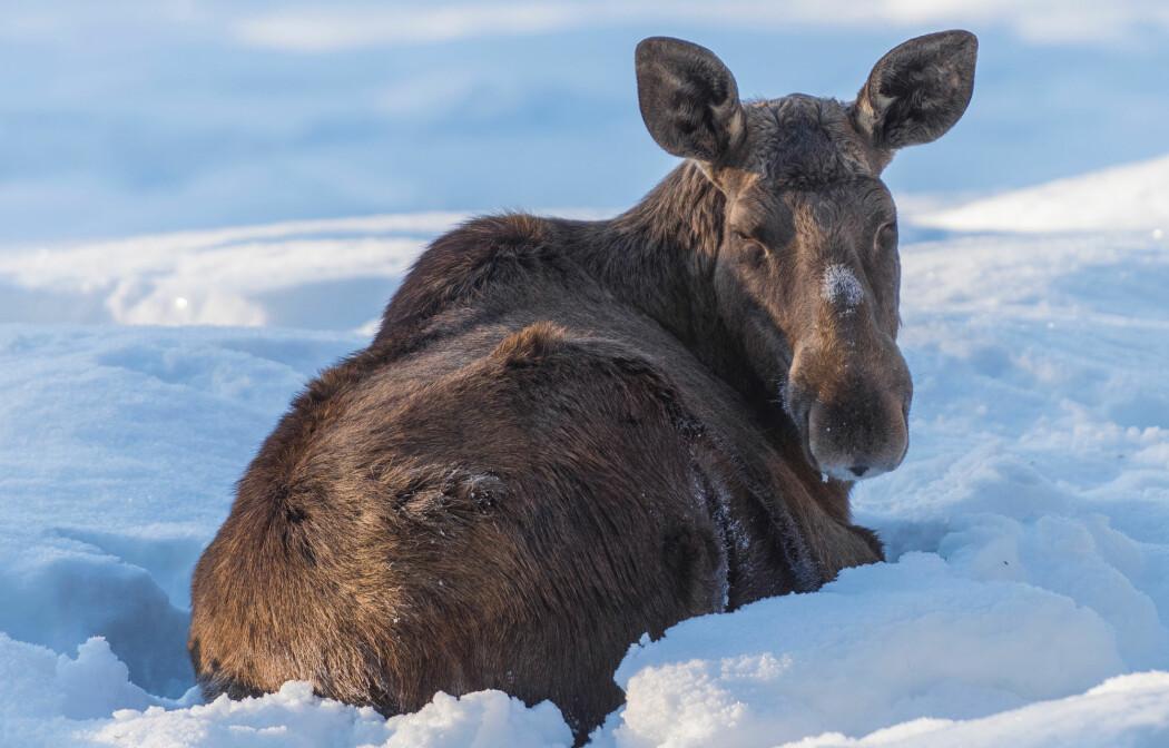 Elgen ligger mye stille om vinteren. Kvistene og skuddene den spiser på vinteren er tungt fordøyelige og gir ikke så mye næring.