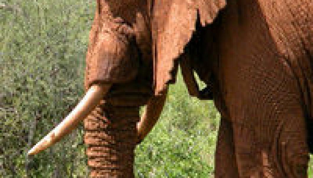 """""""De store ørene hjelper elefanten blant annet med å kvitte seg med varme. Den lange halsen og halen til sauropodene kan ha hatt samme funksjon, mener forskerne. (Foto:Save the Elephants)"""""""