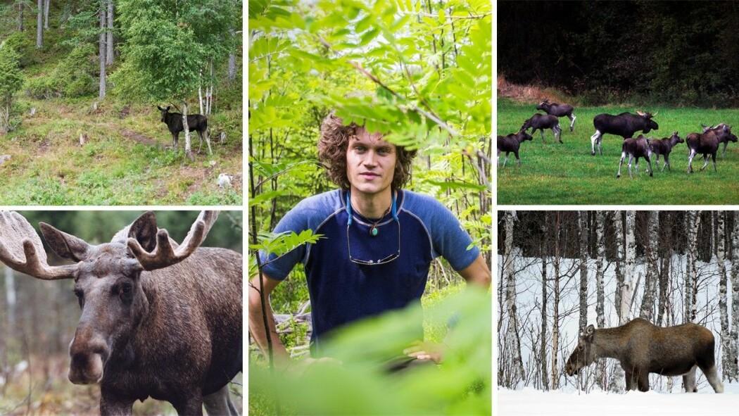 Det er massevis av elg i Norge. Skogene våre ville sett annerledes ut hadde det ikke vært elg i dem. Anders Kolstad (midten) forsker på elg.