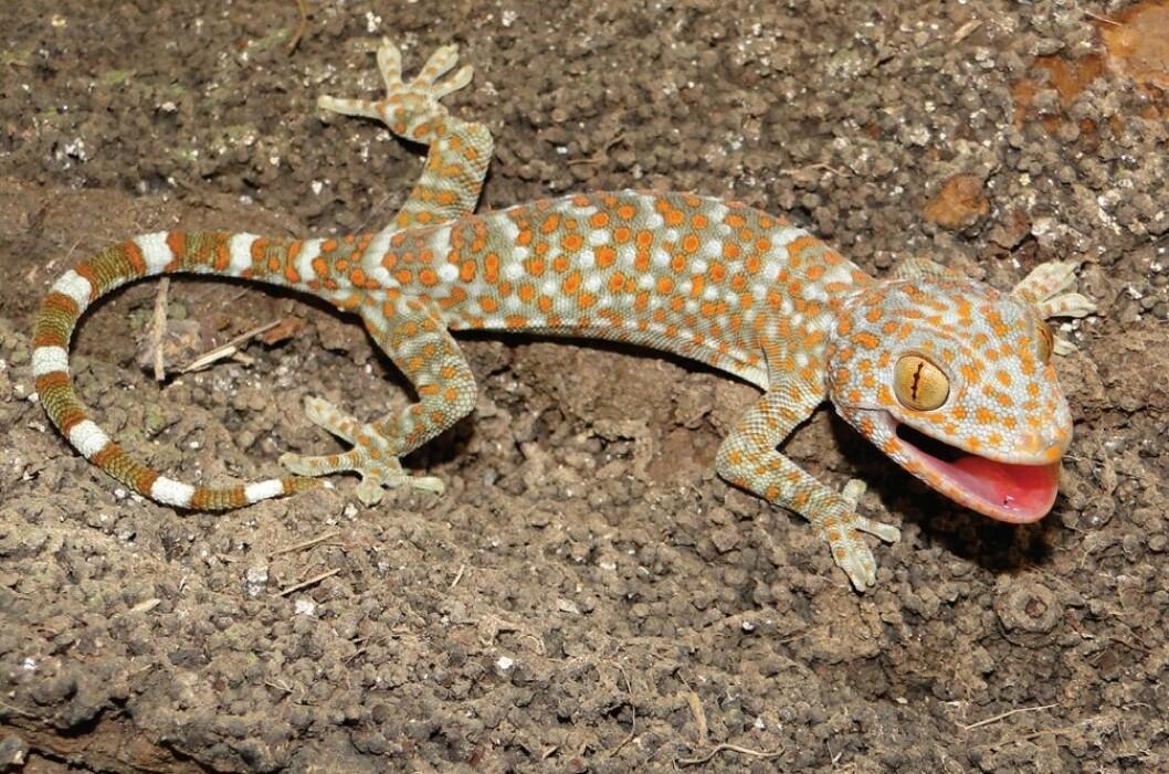 Et prakteksemplar av Tokay-gekkoen med intakt hale. (Foto: Wikipedia Commons/Hinrich Kaiser)