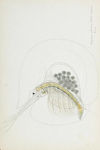 Gelékreps, tegnet av den norske zoologen G. O. Sars, opprinnelige tegninger. Den karakteristiske «geléklokke» rundt selve dyret er også skissert på tegningen.