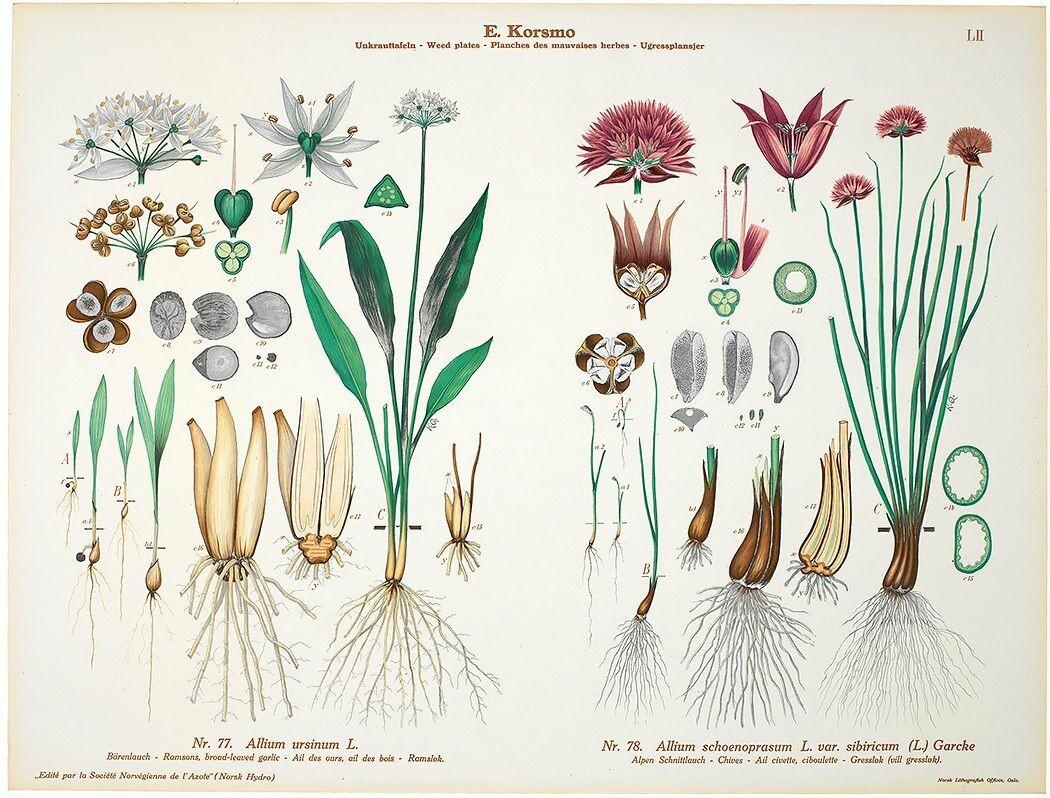 Ramsløk lukter og smaker av hvitløk, og er fin å bruke i mat. Opp igjennom historien har den også vært brukt medisinsk.