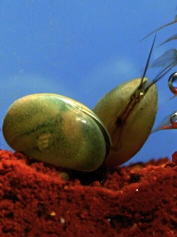 En moderne muslingkreps ved navn Eucypris virens (Foto: Renate Matzke-Karasz)