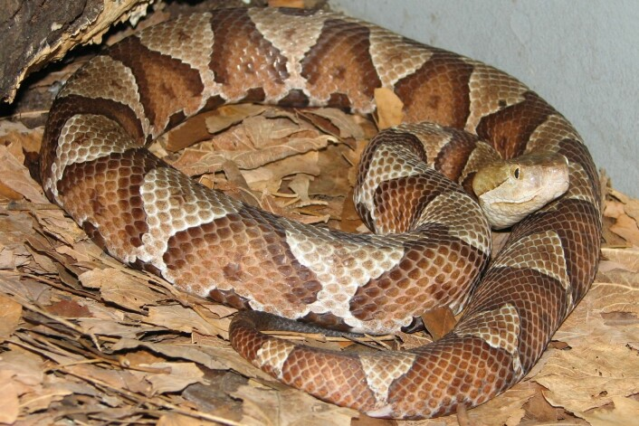 Forskere har funnet slangeunger som har blitt til uten sex mellom moren og faren. Til nå har dette blitt sett på som svært sjeldent hos dyr som kan velge befruktning med en partner. På bildet er en copperhead pit-viper (Agkistrodon contortrix). (Foto: Wikipedia Commons)
