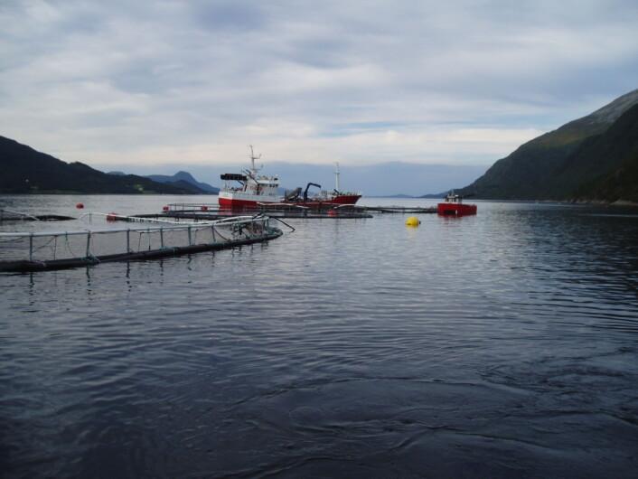 En brønnbåt er i ferd med å pumpe fisk fra et plastmerd-anlegg som «totalhavarerte» på grunn av progressivt brudd i fortøyningssystemet. (Foto: Østen Jensen, SINTEF)