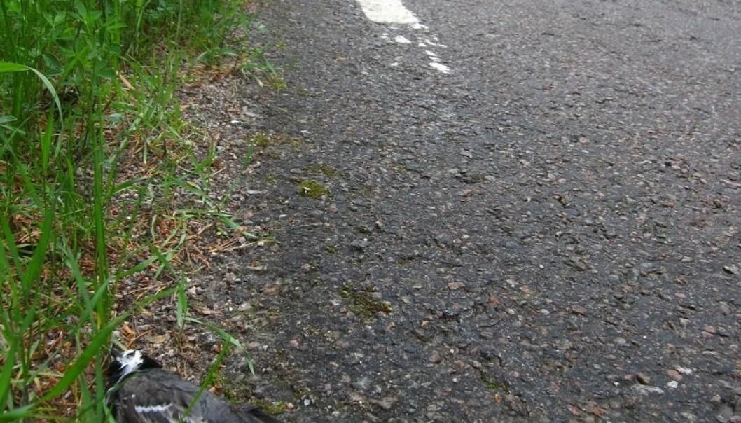 Her ligger en død linerle etter å ha kollidert med bil. Arild Husby