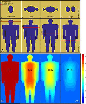 Forskerne matet datamodellen med graden av fettvev fra fire kroppsområder. Det nederste bildet illustrerer temperaturfallet i en kropp fem, ti og 25 timer etter at døden inntraff.