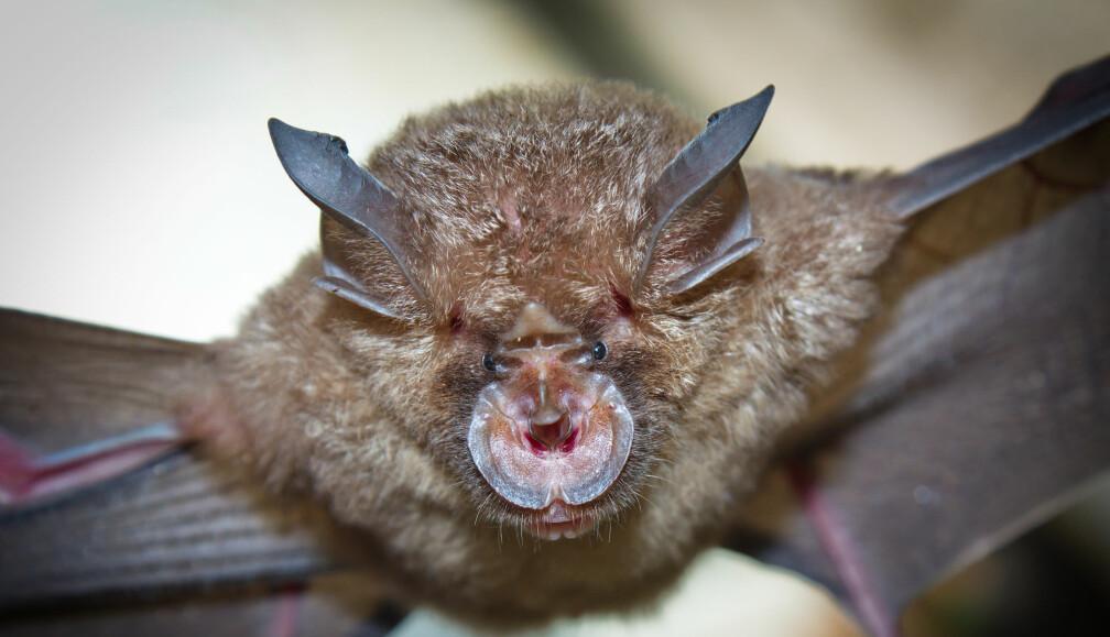 Flaggermusa <i>Rhinolophus affinis</i> er trolig opphavet til koronaviruspandemien.