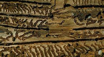 Klimaendringer kan gi barkbilleboom