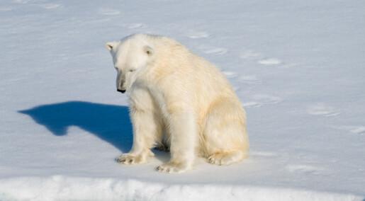 Handel med isbjørn kan true bestanden