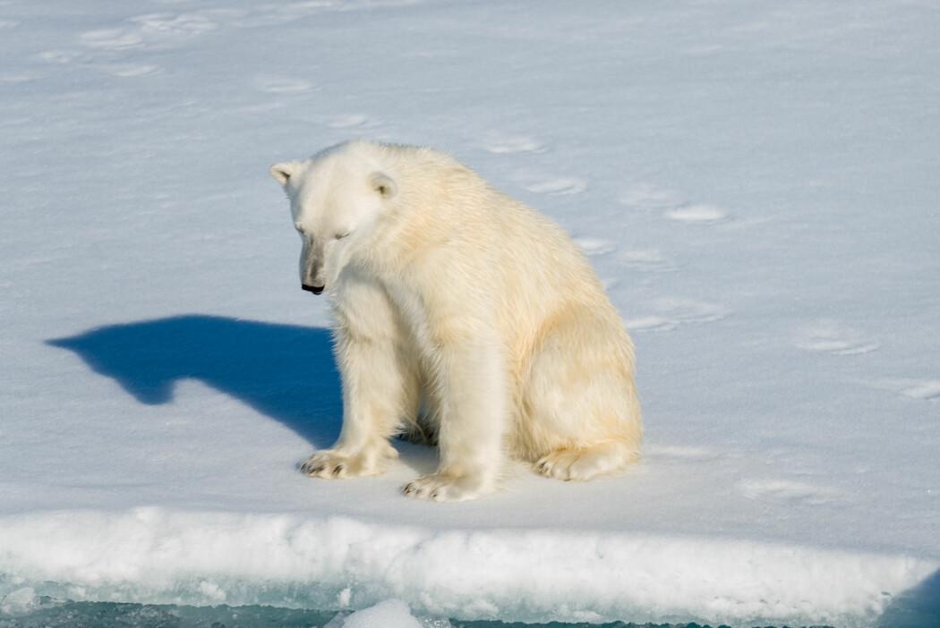 – Tap av leveområder er den største trusselen mot isbjørnens evne til å overleve, men kjøp og salg av isbjørnprodukter er også betydelig, sier Eli Knispel Rueness.
