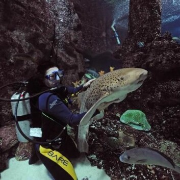 I Singapores store akvarium kan man, sammen med en guide, dykke med blant annet denne leopardhaien. Det er fortsatt ikke bestemt om det blir mulig på Den Blå Planet. (Foto: Peter Hauerbach)