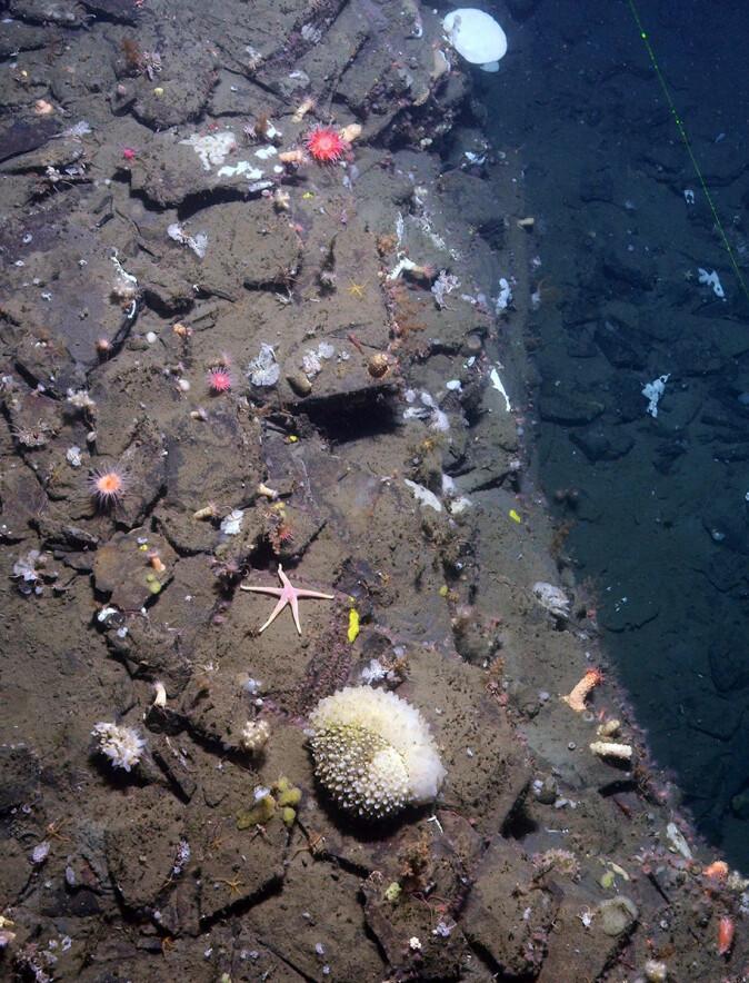 Havbunn med sjøstjerner, anemoner og andre organismer.