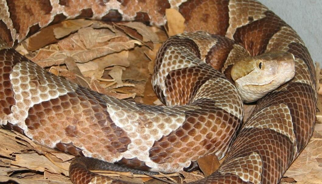 Forskere har funnet slangeunger som har blitt til uten sex mellom moren og faren. Til nå har dette blitt sett på som svært sjeldent hos dyr som kan velge befruktning med en partner. På bildet er en copperhead pit-viper (Agkistrodon contortrix). Wikipedia Commons