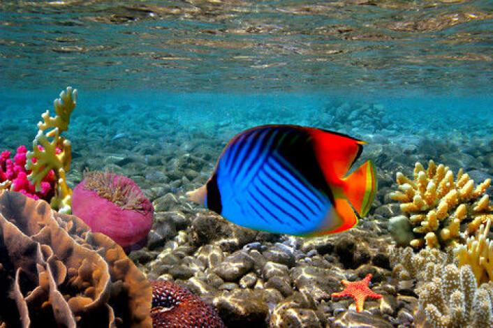 Fisk som normalt lever i varmere vann, har begynt å vandre mot nord. Studien viser også at det som regel er en «baktropp» av fisker som flytter seg langsommere enn «pionerene», når en art begynner å vandre mot nord. (Foto: Colourbox)