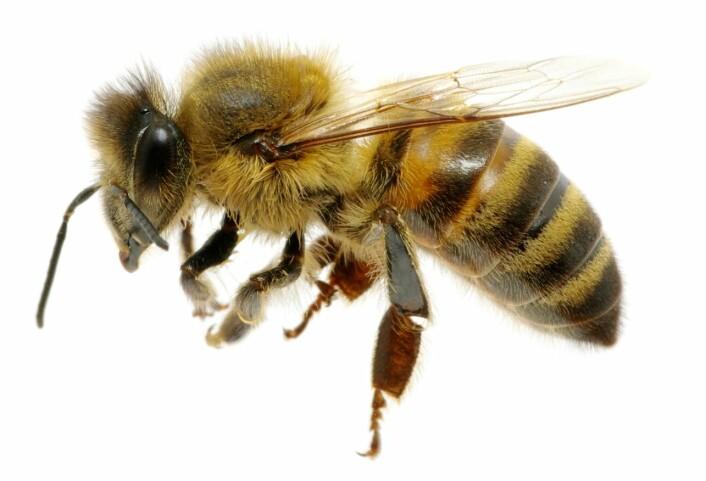 Kanadiske forskere vil totalforby et av verdens mest utbredte plantevernmidler, fordi det er svært giftig for bier. (Foto: Microstock)