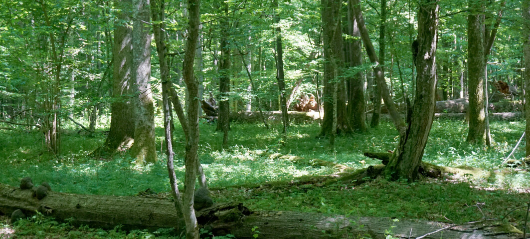 Frodig edelløvskog dekket en gang store deler av Europa. Nå kan den komme tilbake