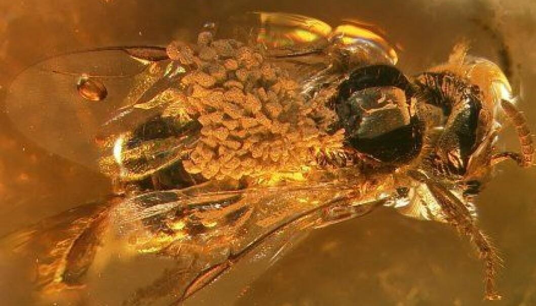 """""""En 15-20 millioner år gammel bie med orkidépollen på ryggen. Oppdagelsen har gjort det mulig å regne ut alderen på orkidéfamilien."""""""
