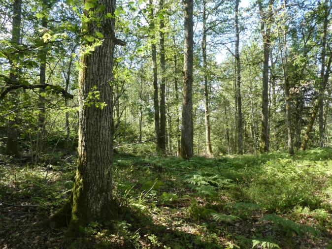 Fortidens skog er fremtidens skog: Disse gjengroingsskogene er et godt utgangspunkt for å gjenskape edelløvskogene. De trenger bare litt hjelp.