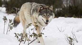 Hvem er de som støtter ulovlig jakt på ulv?