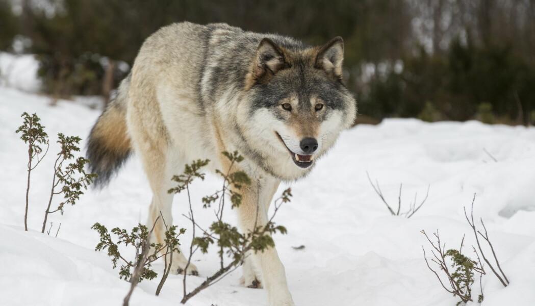 Ulvesaken er betent, med sterke meninger om hvor mange ulver vi skal ha her i landet.