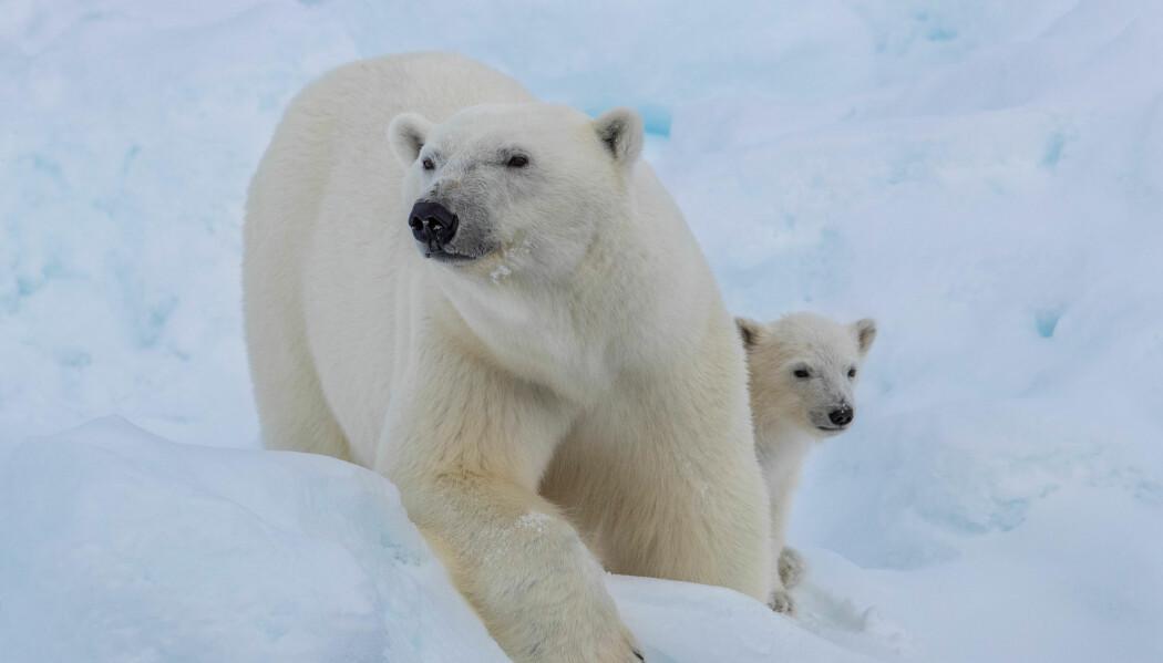 En isbjørn med en unge på et par uker, kom på besøk på lørdag for å sjekke ut rabalderet. På ekspedisjonen er vi opptatt av å passe på sikkerheten til både bjørn og menneske og evakuerer derfor fra isen med en gang når en bjørn har blitt oppdaget, slik at vi kan observere bjørnen fra trygg avstand. Foto: Lianna Nixon