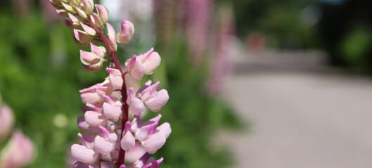 Hva skjer når vi sår blomster der de ikke hører hjemme?
