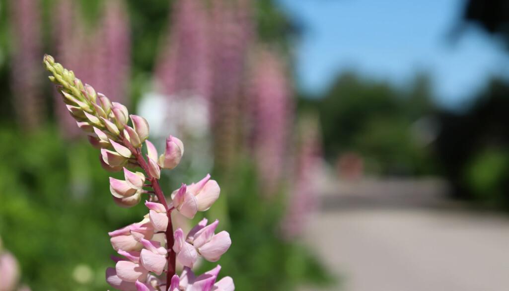I Norge sår vi ut ville planter i stor skala, både i offentlig og privat regi.