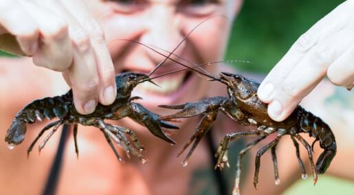Kreps i stua kan være en risiko for norsk biologisk mangfold