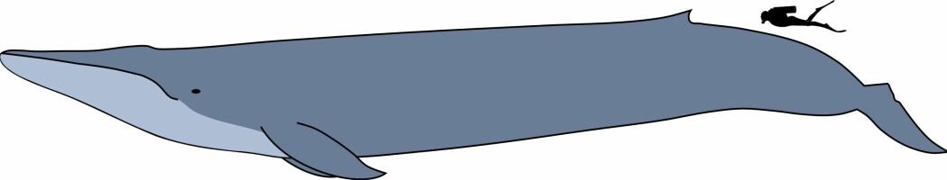 Mennesket er bittelite sammenlignet med en blåhval. Allikevel har vi tatt på oss å veie dem.