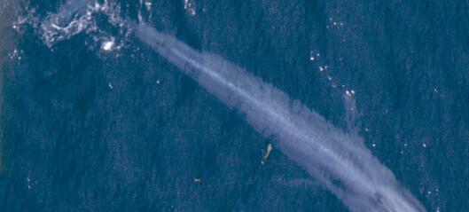 Blåhvalen veier 180 tonn, men hvordan vet vi det? Hvem har veid en blåhval?