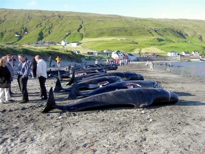 Grindadráp, jakten på grindhval, har lange tradisjoner på Færøyene. (Foto: Erik Christensen)