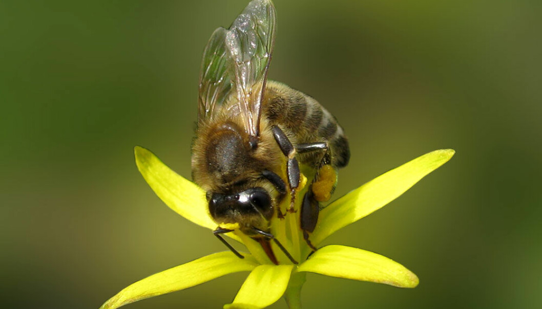 Biene gir bøndene gratishjelp til å befrukte plantene. Colourbox