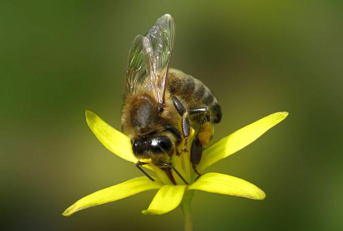 Biene gir bøndene gratishjelp til å befrukte plantene. (Foto: Colourbox)