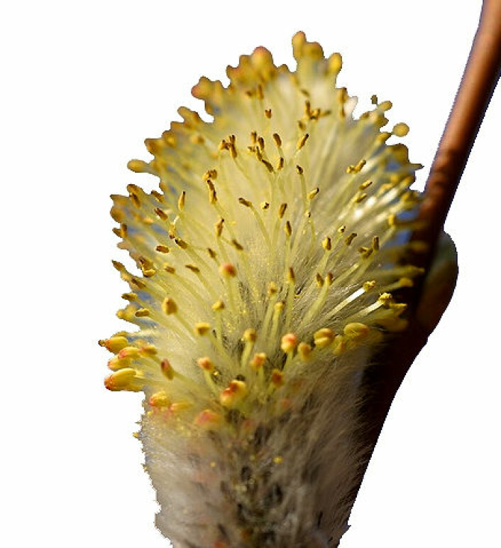 """""""Om våren spretter gåsungene fram, og er et velkomment syn for de fleste. Men for pollenallergikere er ikke slike syn bare sjarmerende. Nå får de råd om å unngå stress i tillegg."""""""