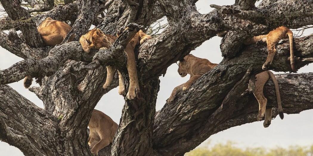 I 1950 fantes det kanskje en million løver i det fri. I dag finnes det mellom 20.000 og 30.000. Skal vi berge dem, må vi vite mer om dem.