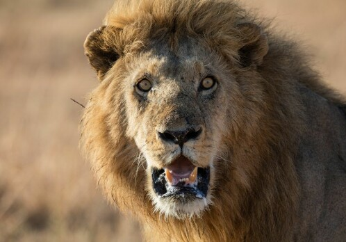 Lions are at risk of disappearing from earth. Studying their genealogy might help.