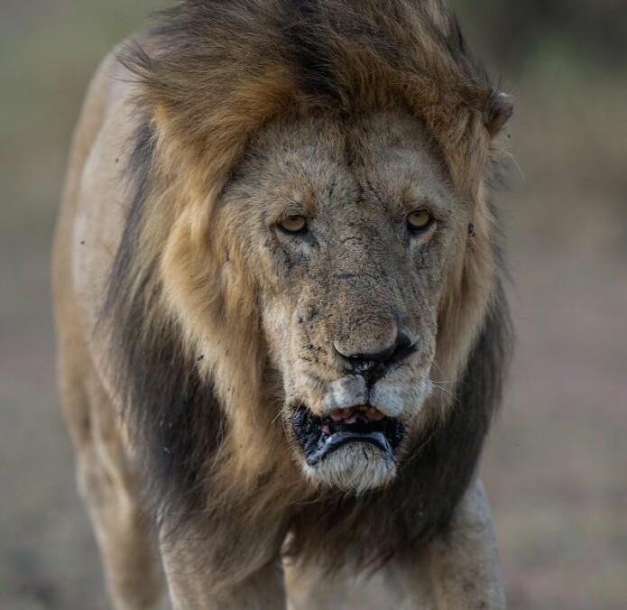Løver har vært symboler på makt i minst 6 000 år. Men nå trenger de hjelp.