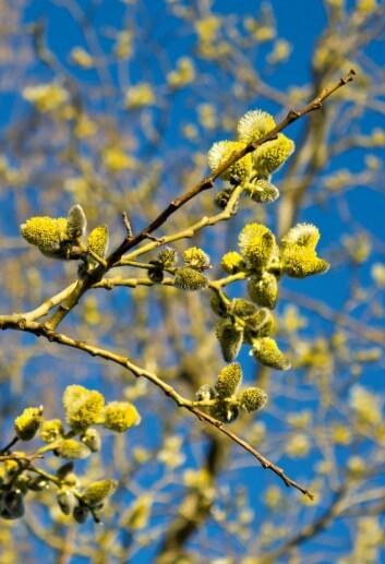 Det er bedre å telle pollenkorn i lufta enn å bare anta at vår betyr mye pollen. Det er nemlig stor variasjon fra område til område, og fra år til år. (Foto: Colourbox)