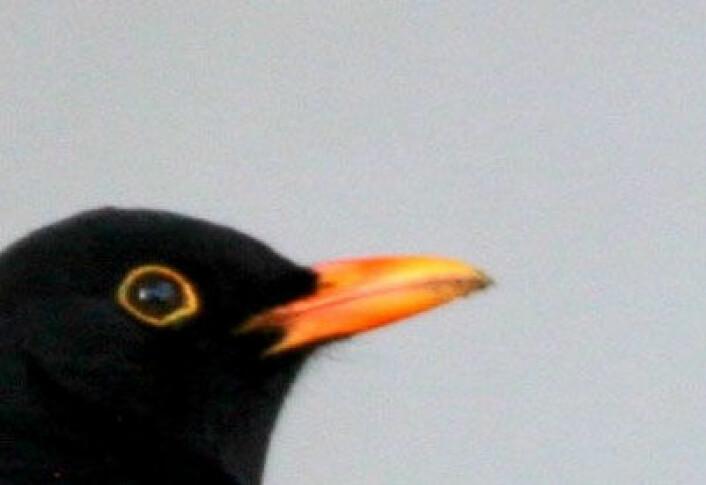 Svarttrosthannen er, nettopp... svart, hunnen er brun. (Illustrasjonsfoto: Colourbox.no)
