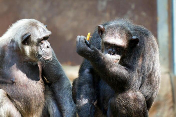 Det er ikke bare mennesker som har gode venner. Det gjelder også andre primater. Muligheten for å danne vennskap nemlig i en felles stamfar til alle nålevende primater. (Foto: Colourbox)