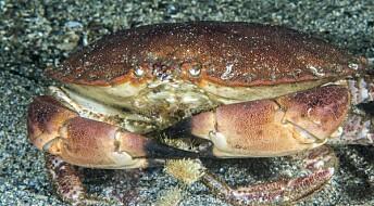 Nordnorske krabber har mer tungmetall i kroppen