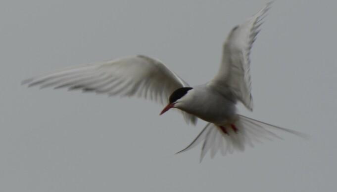 Rødnebb-terna kan bli opptil 35 år gammel. Det er eldre enn andre sjøfugl, som vanligvis blir 20-25 år.