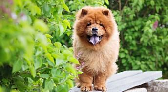 Disse hunderasene har størst risiko for heteslag i varmen